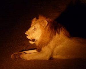viajes beagle sudafrica leon safari