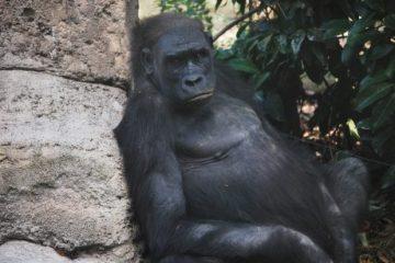 viajes beagle gorilas en uganda y rwanda
