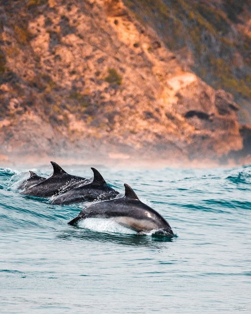 Delfines en Knysna