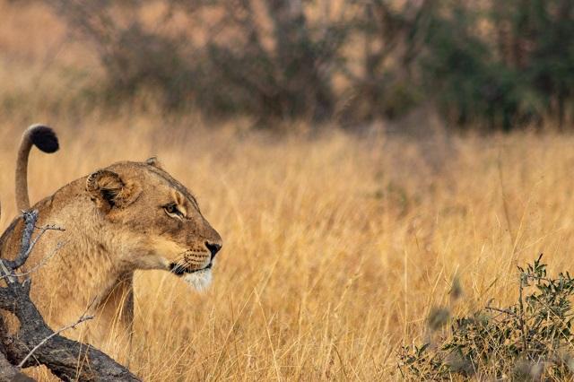 Leona en el parque Kruger
