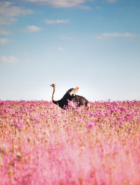 Avestruz en Sudáfrica