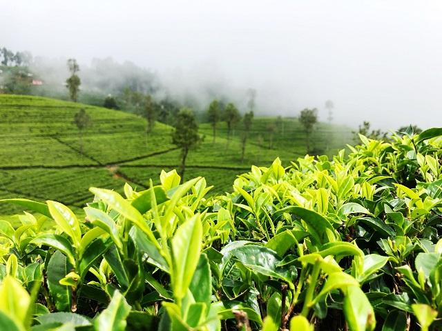 Té en Sri Lanka