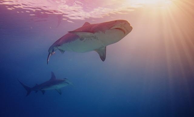Tiburones en Gansbaai